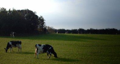 Granja de vacas