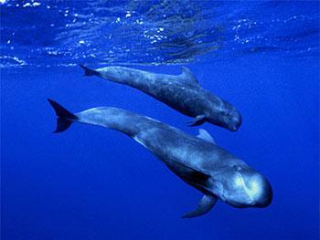 delfines-calderones.jpg