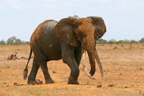 marfil-elefante
